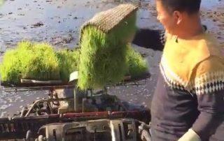 金满田水稻育苗