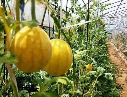 有机蔬菜用什么肥料_金满田生物菌肥