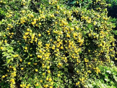 柑橘使用金满田生物肥料