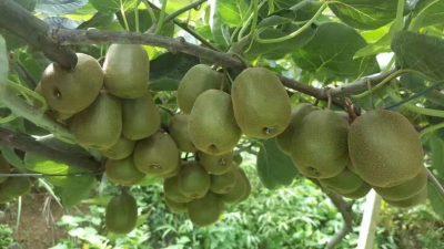 猕猴桃使用金满田生物肥料
