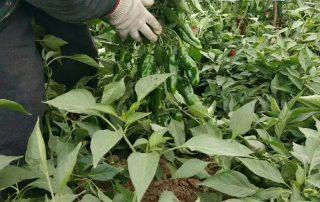 金满田生物菌肥