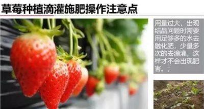 草莓滴灌施肥